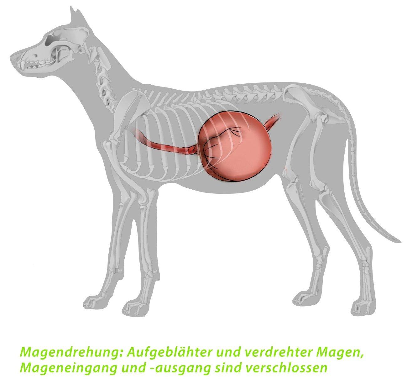 Tolle Hund Anatomie Magen Ideen - Menschliche Anatomie Bilder ...